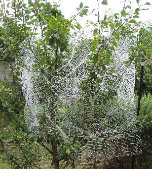 プルーンの網かけ
